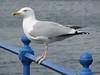 Seagull on Greenock Esplanade.<br /> 8th April 2009