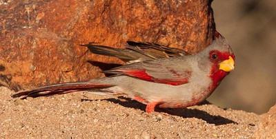 Male Pyrrhuloxia just hanging out looking for seeds.