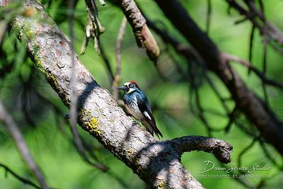 Acord Woodpecker