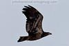 Golden Eagle in flight near Libby, Montana