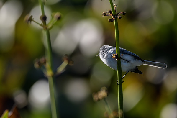 Glue-grey Gnatcatcher (Polioptila caerulea)