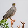 Eastern Chanting Goshawk, Tsavo East, Kenya. On Safari.  April 16-21, 2011. Photo by: Stephen Hindley ©