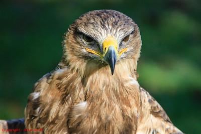 Eagle - Tawny Eagle (I think?)