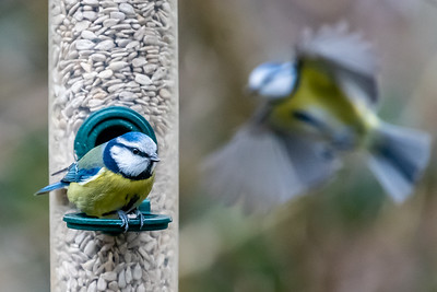Blue Tits at Warnham Nature Reserve
