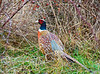 Ring-necked Pheasant, near Squim, WA