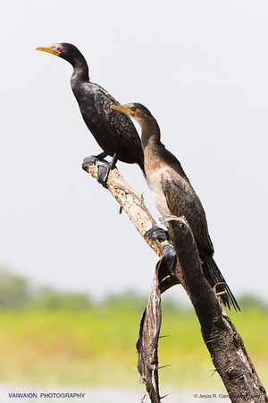 The characteristic red eye of the Reed cormorant. Lake Baringo.