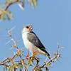Pygmy Falcon, Halsband-Zwergfalke, Polihierax semitorquatus, Kalahari Gemsbok National Park, Transfrontier Park, Südafrika
