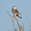 Gleitaar, Black-shouldered kite, Elanus caeruleus, Etosha National Park, Namibia