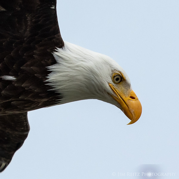 Eagle close-up during a fly-by. Hood Canal near Seabeck, WA.