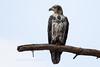 Bald Eagle Subadult-4457
