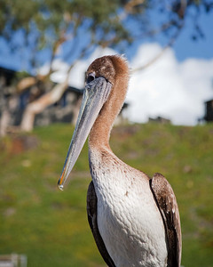 Brown Pelican, Morro Bay, CA