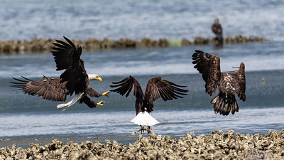 Bald eagles - Hood Canal near Seabeck, Washington