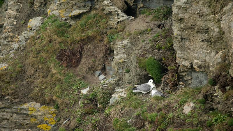 Fulmar, Fulmarus glacialis