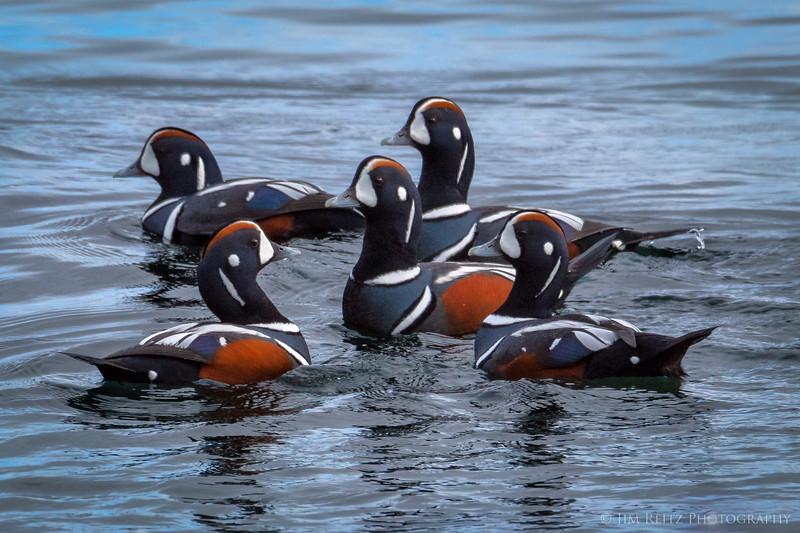 Harlequin Ducks this morning on Bainbridge Island.