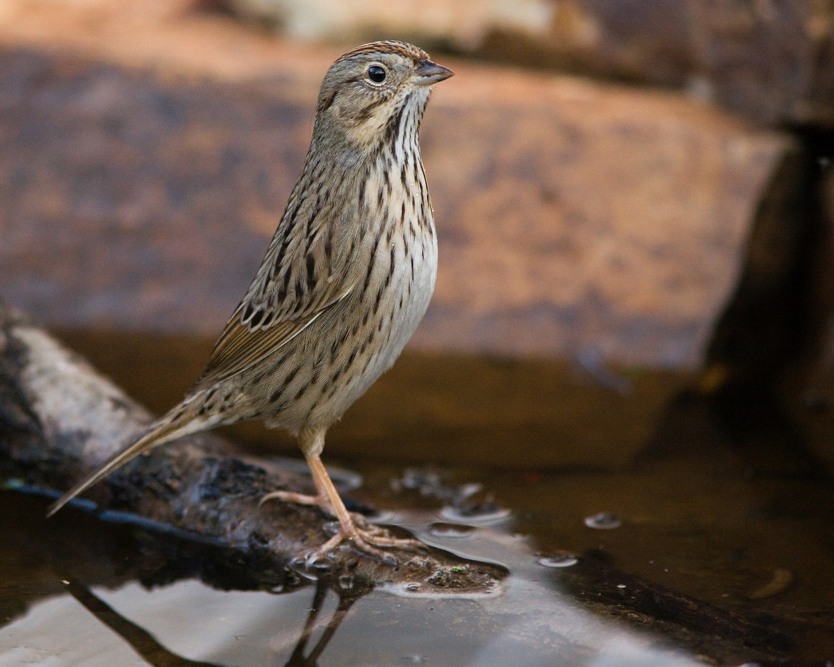 Lincoln's Sparrow II
