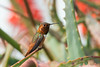 HUmming_bird_Laguna_CA-335
