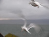 Seagulls at Gourock.<br /> 11th January 2009