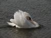 Swan at Ganavan Sands, Oban.<br /> 9th April 2011.