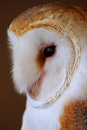 """Portrait of a Barn Owl"""
