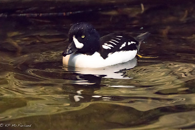 male Barrow's goldeneye (Bucephala islandica) (c)