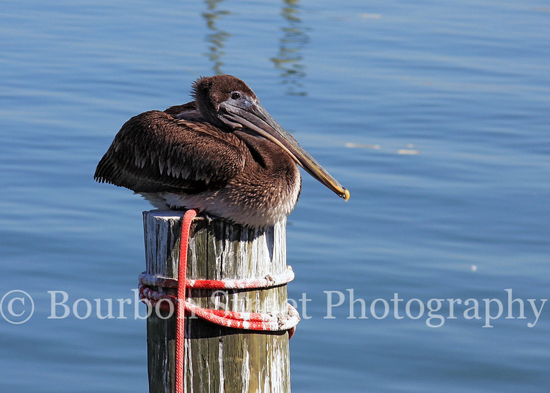 Pelican at Port Aransas TX