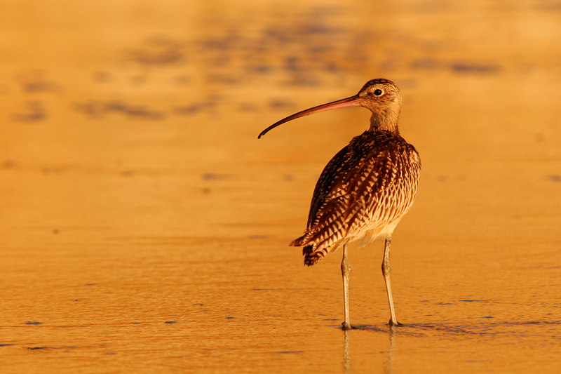 Curlew at Sunset, Torrey Pines Beach<br /> (California, 2005)