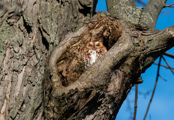 Red Morph Eastern Screech Owl