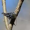 Black & White Warbler (Mniotilta varia)