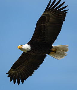 Bald Eagle along the Hood Canal near Seabeck, Washington