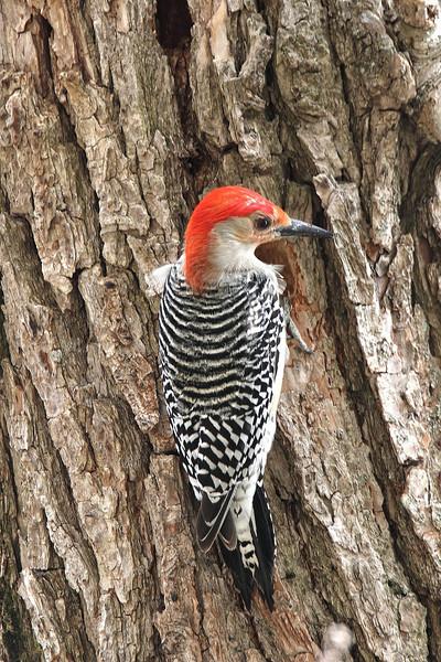 Image #8770<br /> Red-Bellied Woodpecker<br /> Western N. Y.