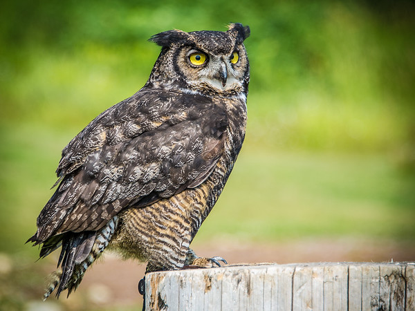 Great Horned Owl.  Grouse Mountain, BC.  August 22nd, 2014. Photo by: Stephen Hindley©