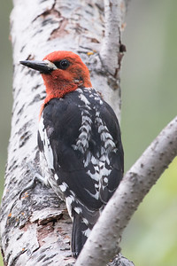 Red-breasted Sapsucker-7644