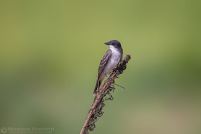 Eastern Kingbird 2
