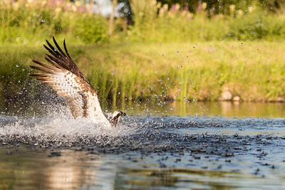 Osprey splashing