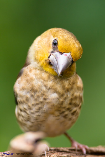 Curious juvenile hawfinch.
