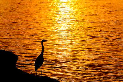 Great Blue Heron at sunset