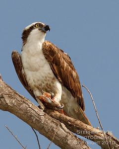 Osprey, San Joaquin Wildlife Reserve, CA
