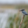 Belted Kingfisher (Megaceryle alcyon)