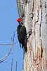 Pileated Woodpecker Image #8518<br /> Western N. Y.