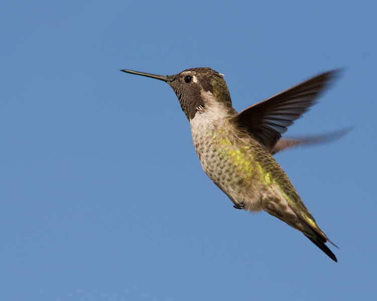 Anna's Hummingbird and Blue Sky