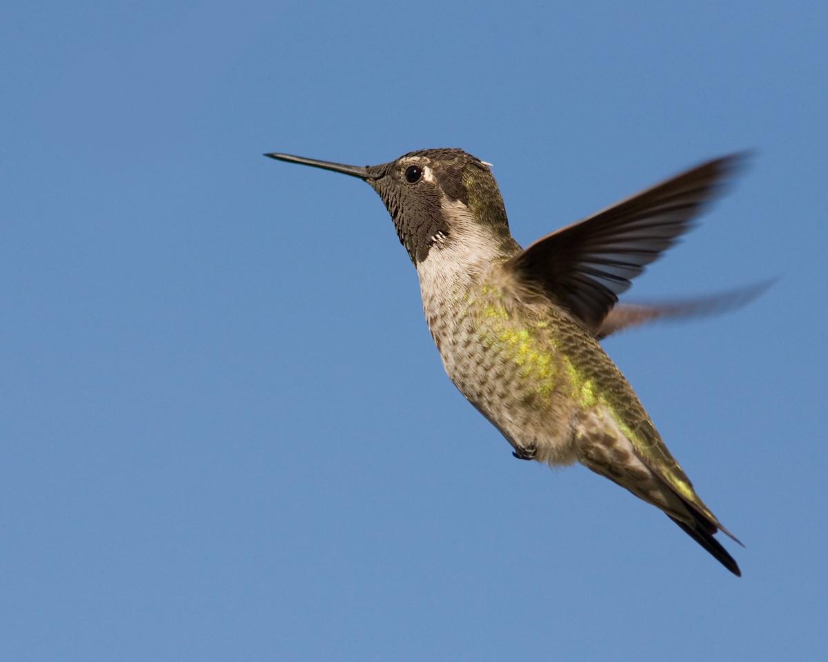 Anna's Hummingbird and Blue Sky