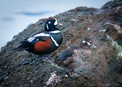 A pair of Harlequin ducks here on Bainbridge Island. A very colorful, small sea duck occasionally seen in Puget Sound during winter months. And best scientific name ever - Histrionicus histrionicus (Melodrama melodrama)!