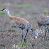 Sandhill cranes in Pitt Meadows, BC.  Photo by: Stephen Hindley ©