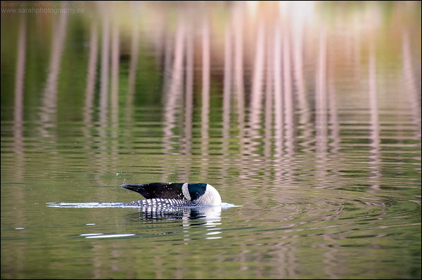 Great Northern Loon  Gavia immer