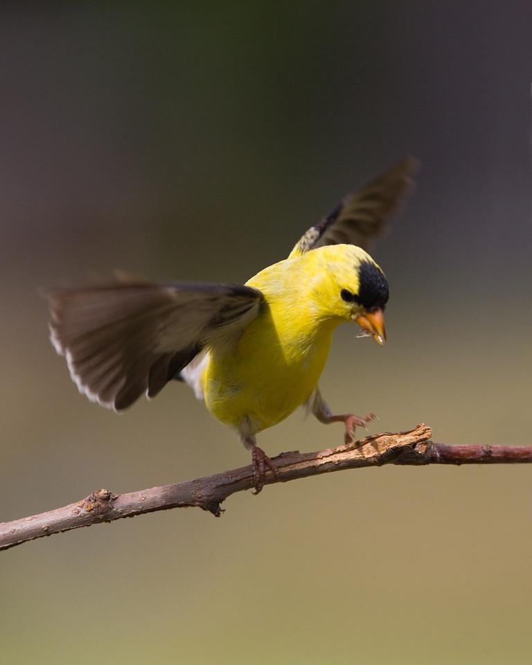 Dancing Goldfinch