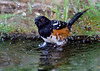 Spotted Towhee taking a bath.