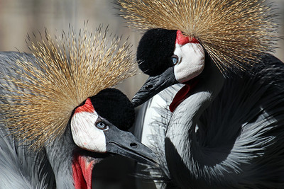 """Crowned Crane Pair"""