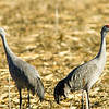 Sandhill Cranes, Central Washington