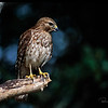 Red-shouldered Hawk, immature