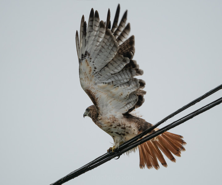 Red Tailed Hawk About To Take Off